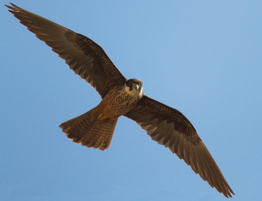 Falcon eleonoren Ibiza